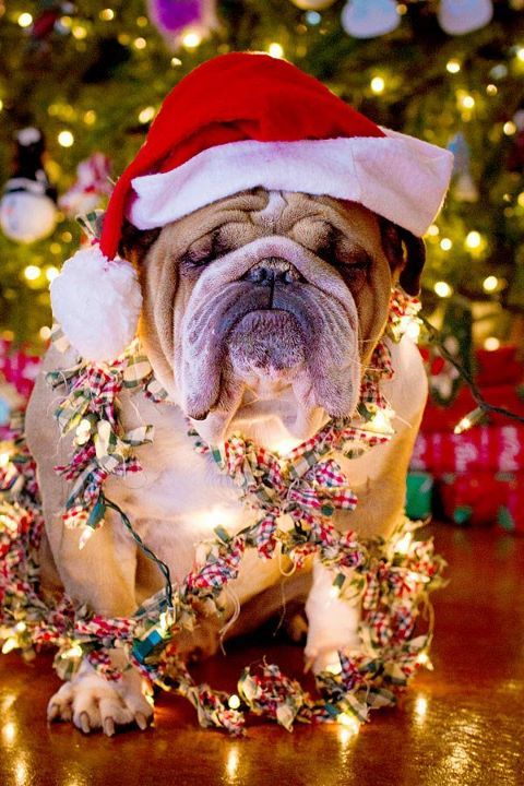 Bulldog Love! Waiting for Christmas already! #english #bulldog www.pinterest.com/AdoraBullBully https://www.facebook.com/AdorABullBulldogs