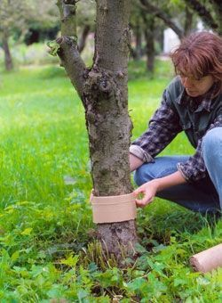 Wellpappe gegen Apfel- und Pflaumenwickler