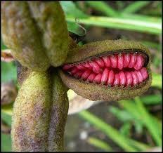 Iris Seed Pods. Crocus Flower