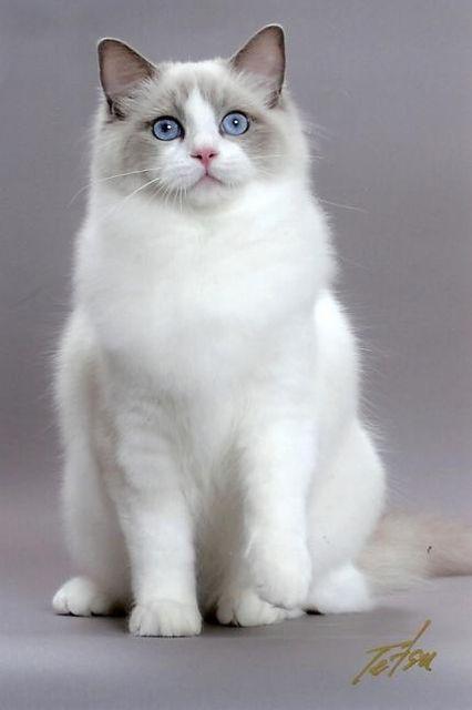 ragdoll-cat16