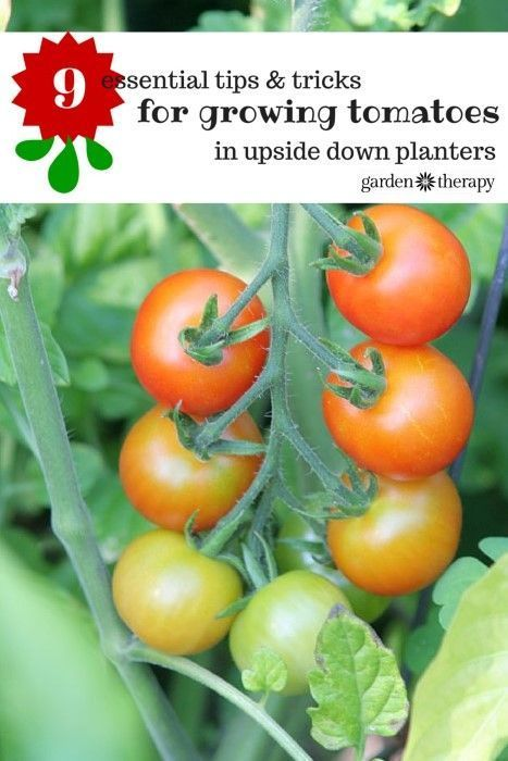 Grow tomatoes upside down successfully with these tips for Tomato gardening tips