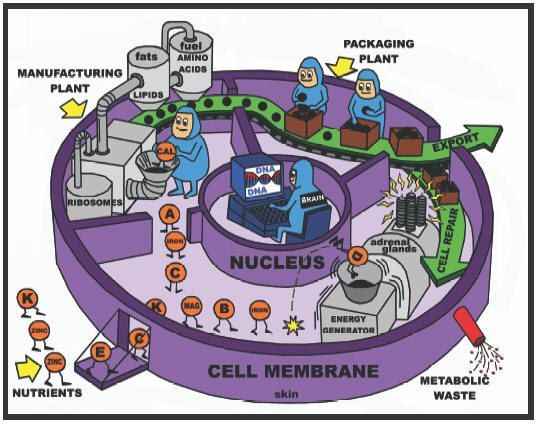 Love this drawing! A simplified illustration of cell metabolism, depicting the cell as a factory. | #teaching #biology