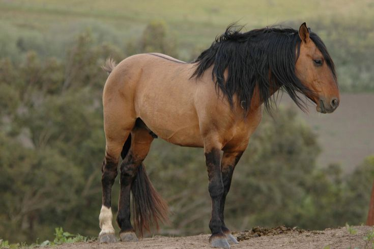 Meet Chief: a Sulphur Spring stallion from Sulphur Springs, Utah. His herd lives at Return to Freedom and represents the influence of bloodlines that go back to the Spanish Sorraia horse and the Iberian peninsula in Spain.