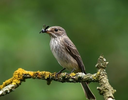 Spotted Flycatcher - doing what it says on the tin ...