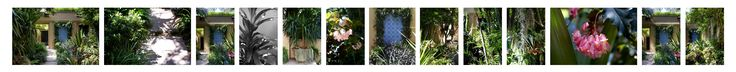 Small courtyard in Paddington transformed into a tranquil, lush oasis. Featuring a Moroccan tiled wall feature framed by Chinese Star Jasmine (Trachelospermum jasminoides) and leafy foliage plants.  Plants used include #Begonias (Begonia coccinea & cvs.), #Bamboo (Bambusa Chungii), #Staghorn (Platycerium bifurcatum), #Autumn Crocus (Zephryanthes candida) and #Gymea Lily ( #Doryanthes excelsa). #gardenlife #landscape design #courtyard #shade
