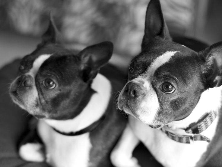 Here is a photo of two Boston Terriers named Blue and Frodo from Hood River, OR, USA. They love to cuddle together!