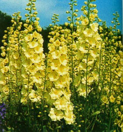 Delphinium Yellow Pearl: