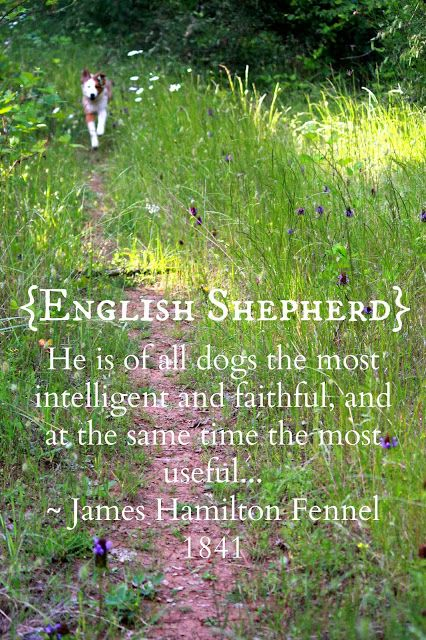 English Shepherds. They've Got It All.