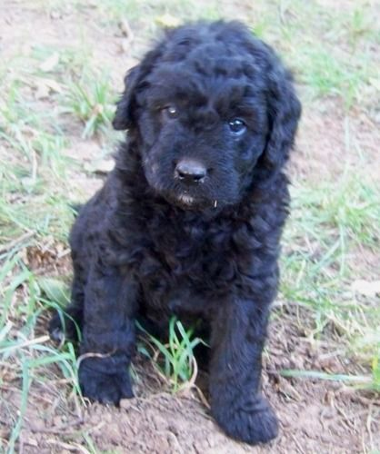 Double Doodle Dogs Info, Temperament, Training, Puppies, Pictures
