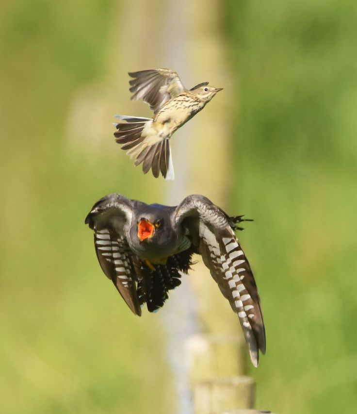 Cuckoo/Meadow Pipit