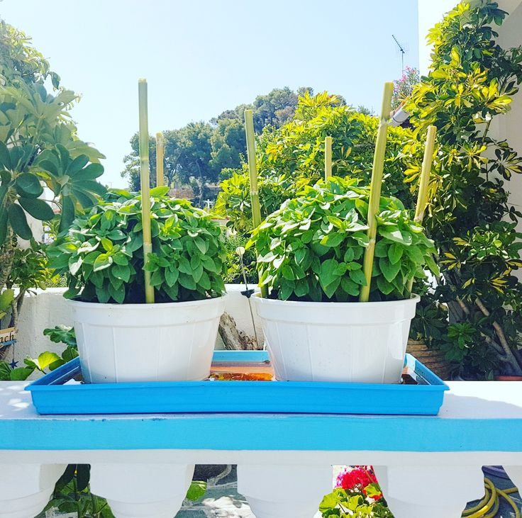 "New entry in our garden...🎉🔝👏👌 My grandfather's new ""kids""... #basil 🍃🍃🍃🍃 🌍 www.angelosalonissos.com #angelos_apartments #alonissos #sporades #greece #summer2017 #august #entrance #garden #plants"