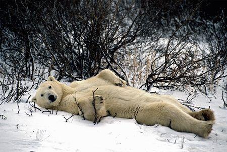 Laid Back Polar Bear Photo by Keith Szafranski -- National Geographic Your Shot