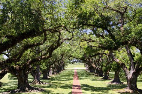 Oldest Oak Tree in America | 300-Year-Old Oak Trees, Vacherie, New Orleans, Louisiana, USA ...