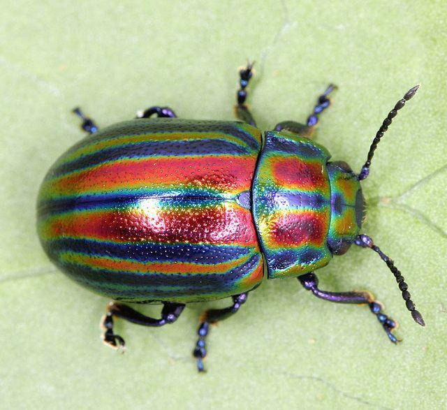 rainbow leaf beetle, Chrysolina cerealis (3)