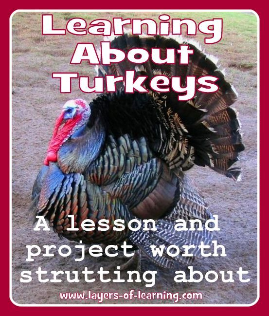 A lesson plan about turkeys including a project about what turkeys are doing in each of the seasons,  Also some fun facts!