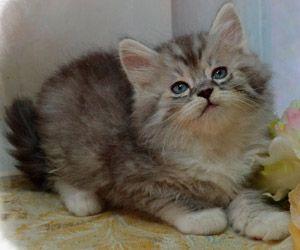 Napoleon Kittens for Sale Persian Kittens Saint Louis