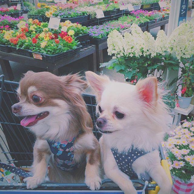 . ホームセンターに行ったら . たくさんかわいいね〜 とお声かけてもらいました👵🏻 . カートはペート用です🛒 . #犬 #愛犬 #チワワ #ロングコートチワワ #さすこま #チョコタン #わんこなしでは生きられません会 #ふわもこ部 #ちわわ部  #今日のわんこ #ホームセンター #お花 #dog #dogstagram #chihuahua