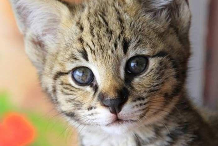 Gato Savannah Todo Sobre El Gato Más Alto Del Mundo Feelcats Gatos Savannah Ojos Azules