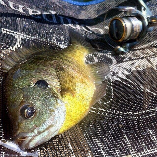 Big ol' bluegill caught in Ohio. fishing bluegill