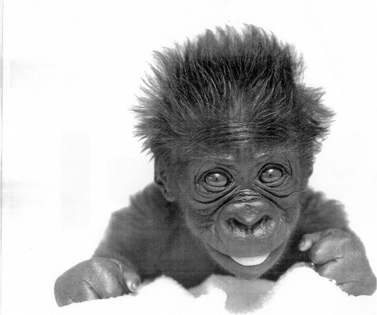 Holy cow- sweetest little baby face.  Want to snuggle with the baby gorilla!  Reminds me of my little girl! Lol