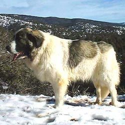 Find Pyrenean Mastiff puppies for sale with pictures from reputable dog breeders. Ask questions and learn about Pyrenean Mastiffs at NextDayPets.com.