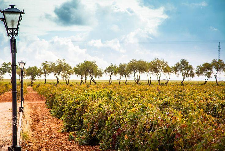 The vineyard of Pago Casa del Blanco   Spain