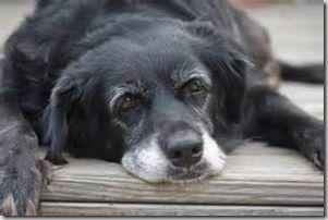 Insufficienza Cardiaca nel Cane e nel Gatto Anziano