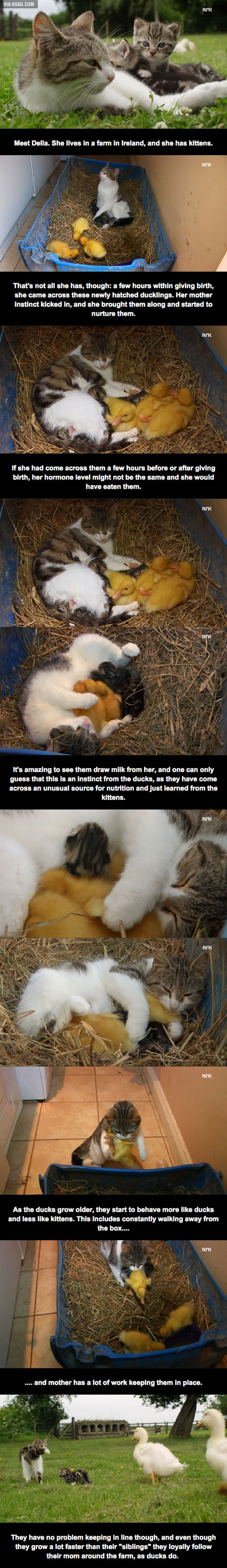 Della, the cat who adopted ducks