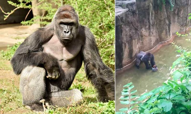 La polémica tras el caso del gorila sacrificado para salvar la vida de un niño en Cincinnati