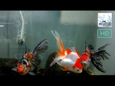 CALICO OR  ORENDA in  a tank : for biggeners :who want to set up at own ...