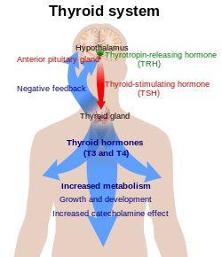 Triiodothyronine - Wikipedia