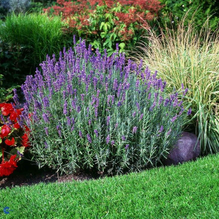 Lavender 'Hidcote Blue' completes an outdoor paradise with fragrant splendor. Mounds of deep purple flower spikes reach up to 2' tall and bloom in late spring and summer. Silver green foliage will rem