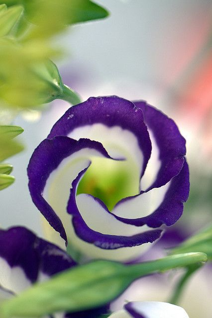 ~~Eustoma Echo Blue ~Lisianthus by Bibi015~~