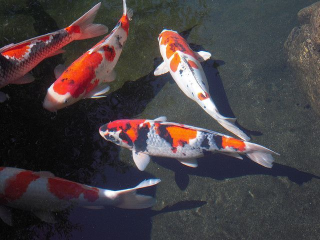 136 best images about koi on pinterest japanese fish for Carpe koi reproduction