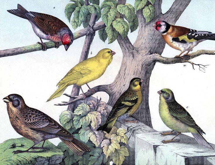 Birds Prints, Free Graphics, Graphics Fairy, Vintage Birds, Bird Prints, Fantastic Birds, Fairies Llc, Free Printables, Graphics Fairies