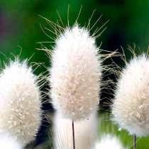 Capim Cauda De Coelho Bunny Tails Grama Sementes Para Mudas
