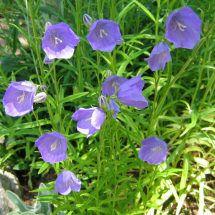 Campanula persicifolia - a purple form: Yard Concepts