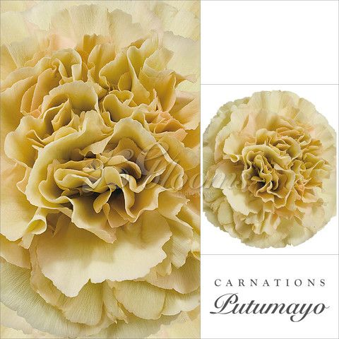 Putumayo Cream Carnations Yellow Carnations And Flowers