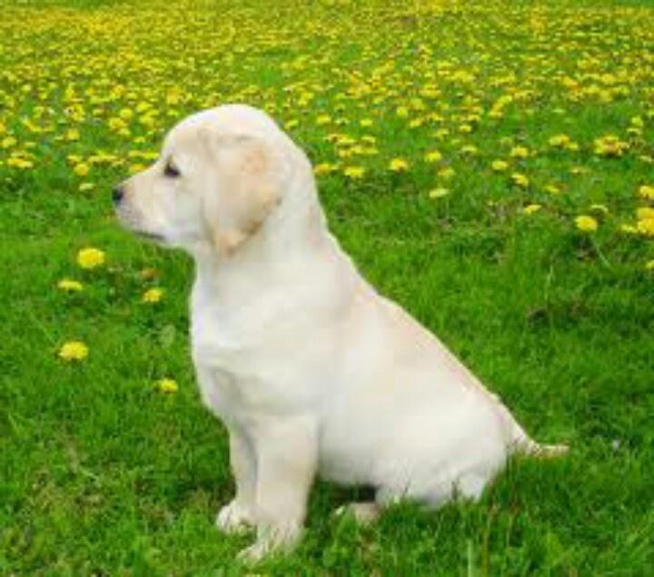 cucciolo nell prato di fiori gialli