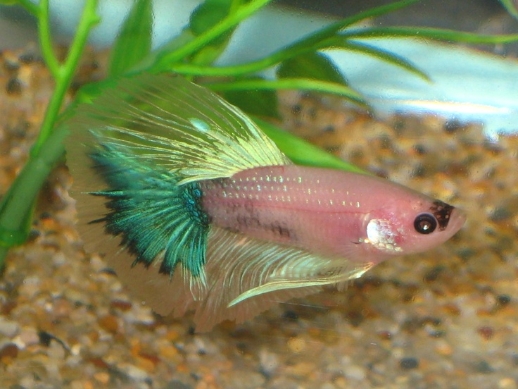 25 best images about betta fish on pinterest beautiful for Betta fish diseases