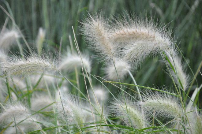 Pennisetum är vinterkänsliga gräs.