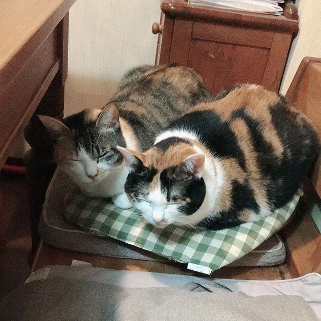 うちの三毛お嬢様お二方です( ^ω^ ) さすが親子❤️ 同じ格好、同じ顔して寝んねしてる! 寒いからみんなくっついてむぎゅむぎゅして可愛い #ねこ #cat #猫 #にゃん #にゃんこ #にゃんこ部 #ねこ部 #愛猫 #愛猫家 #愛猫同好会 #にゃんすたぐらむ #catstagram #三毛猫 #親子猫 #眠り猫 #ねこ好き #ねこ好きさんと繋がりたい #親バカ部
