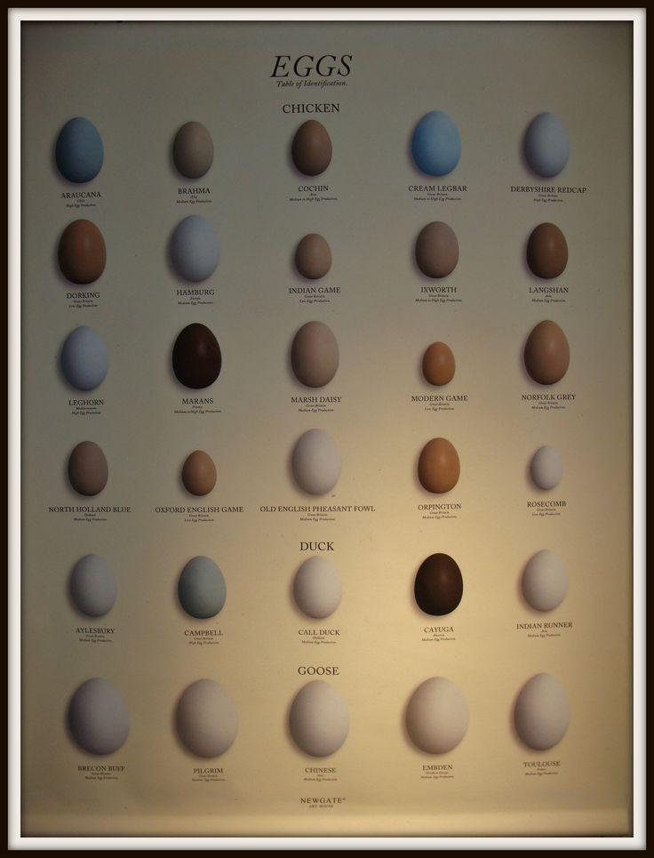 Ei eggs birds vogels