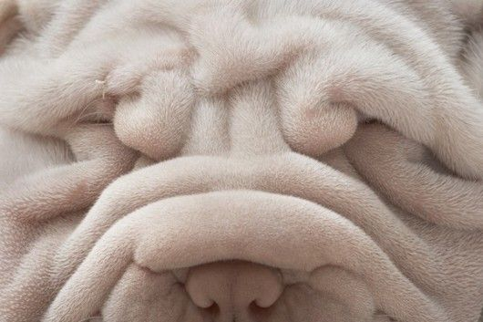 shar pe - love the folds and colorShar Pei, Animal Photography, Timflach, Dogs Photography, Sharpei, Tim Flach, Dogs Photos, Dogs Lovers, Dogs Portraits