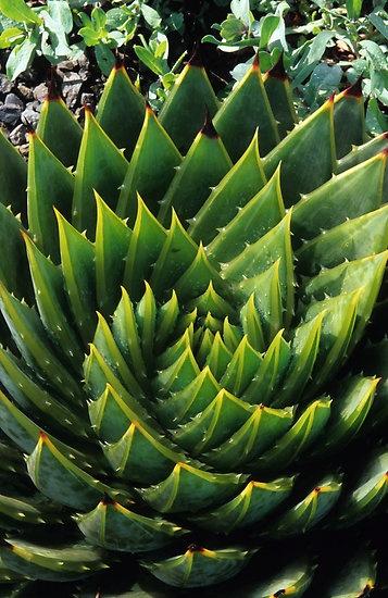 ~~ Aloe polyphylla by John Glover ~~