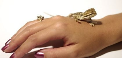 A baby bearded dragon can be a very personable pet.
