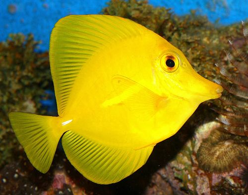 Yellow tang fish tank must haves pinterest posts and for Yellow saltwater fish
