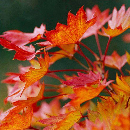 espèce d'érable du Japon Golden Fullmoon à feuillage rouge-orangé