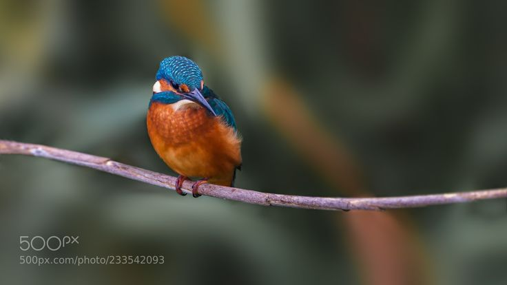 Kingfisher (Roland Albanese / Winterthur / Schweiz) #ILCE-9 #animals #photo #nature