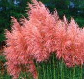 cortaderia ornimental grass (I want pink grass!!) Reminds me of something out of a Dr. Seuss book. I had some in white but the pink is gorgeous. It is great for blocking off neighbors as well.